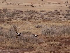 Ruddy Shelduck in desert/     (Mehdi Kavousian) Tags: bird female river flying iran  birdwatching touran  ruddyshelduck tadornaferruginea dashtekavir semnanprovince    touranconservedarea  kalshour