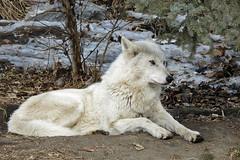 Artic Wolf (njchow82) Tags: canada calgary nature animal wildlife alberta calgaryzoo wold articwolf impressedbeauty dmcfz18 rubyphotographer naturallymagnificent alittlebeauty njchow82