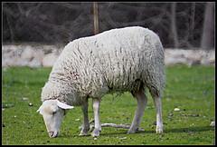Oveja (Tupolev und seine Kamera) Tags: canon lens real eos mirror sheep el 500mm oveja f63 manzanares tupolev objetivo 400d rokinon catadióptrico