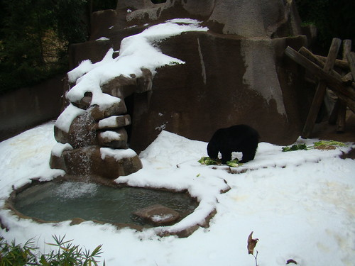 American Black Bear at the Los Angeles Zoo
