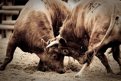 (toughkidcst) Tags: festival fight traditional korea bull jinju toughkid     kyoungsangnamdo