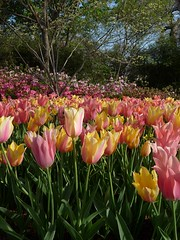 Tulips (JoWiJo) Tags: park flowers trees plants nature spring tulips dfwareameetup dallasarboertum dallasblooms2009