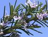 Fiori di rosmarino (Rosemary flowers)