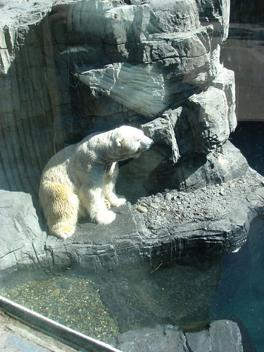Polar bear scratching his back
