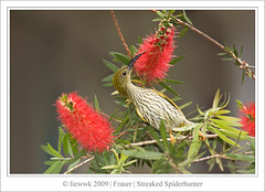 Streaked Spiderhunter ... it will go whatever angle to eat :D ...