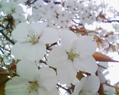 通勤中の桜