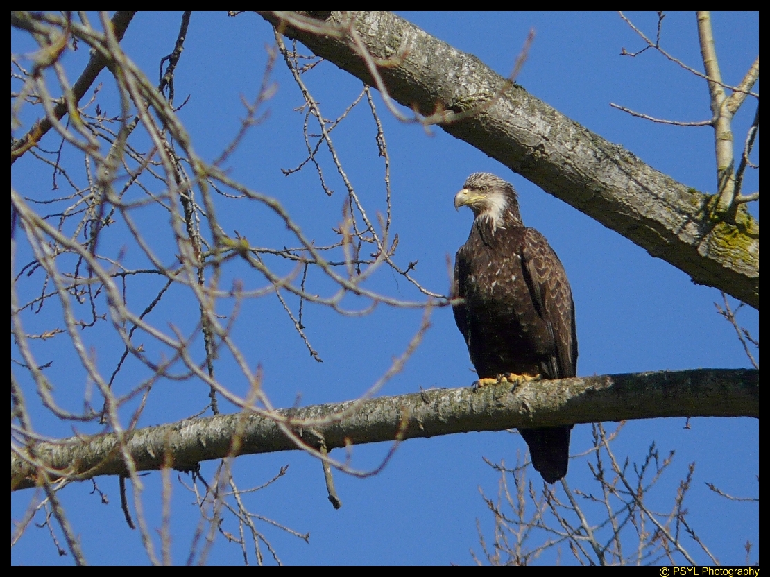 Third Year Bald Eagle (Haliaeetus leucocephalus)