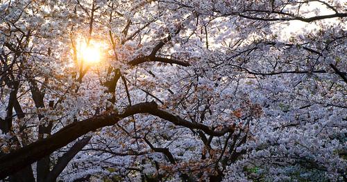 Sakura in Yoyogi 12