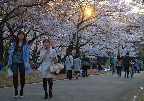 Sakura in Yoyogi 13