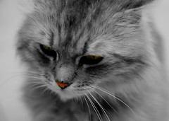 ....   (Hatoon Saad) Tags: cat nose grey eyes kitten sad  obstract