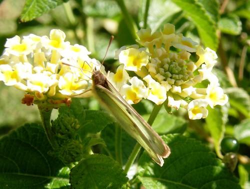 lantanas con mariposa