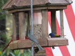 feeder full of birds (lisancelet) Tags: cardinal painted titmouse bunting