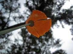 2009/365/112 Pine Sized Poppy