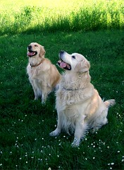 Goldie and Billy - Good girl and boy! (Mariella e Adriano) Tags: dog chien primavera grass cane goldenretriever golden spring retriever perro erba hund daisy frhling margherite