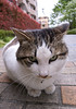 府中本町の動じない猫