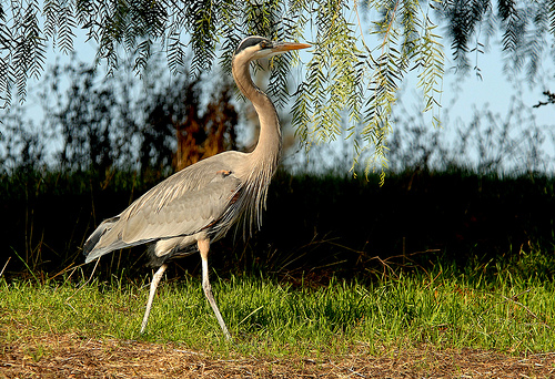 Albino Great Blue Heron Great Blue Heron by Joe Oliver