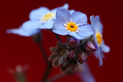 Forget-Me-Not on Red (Robert_Brown [bracketed]) Tags: blue red brown flower color macro robert me floral yellow canon mark photograph ii bloom 5d forgetmenot forget