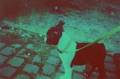 Franklin (James Tebbutt) Tags: dog boston puppy bostonterrier xpro snapshot velvia cobbles smena8m