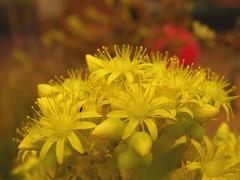 Aichryson laxum (vega*) Tags: plant flower macro planta valencia succulent flor vega suculenta aichrysonlaxum