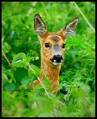 Roe deer in the nettles (Levels Nature) Tags: portrait nature animal eyes bravo head wildlife ears somerset deer roedeer potofgold specanimal shapwickheath mywinners abigfave magicdonkeysbest vosplusbellesphotos
