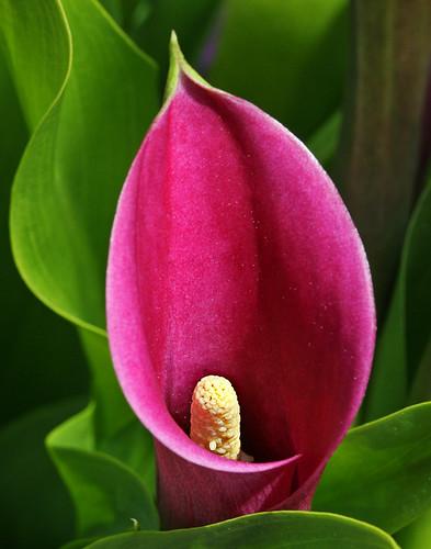 Calla Lily by janruss
