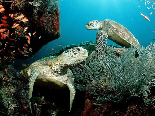 turtle, reptile, pet, red-eared slider