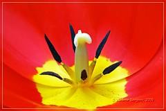 Red tulip (wws001) Tags: flowers red flower macro yellow garden spring flora may petal stamen tulip pestle