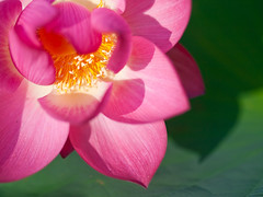 Lotus Shadow  (olvwu | ) Tags: plant flower macro lotus bokeh farm taiwan ntu taipei bud  laef  lotusflower nelumbonaceae taipeicounty nelumbo sindian jungpangwu oliverwu oliverjpwu nelumbonucifera 50mmmacro  ntufarm proteales nelumbonuciferagaertn olvwu eastindianlotus  sindiancity jungpang  ntuangkangfarm ntuankangfarm