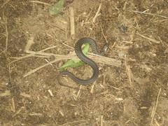 69 - Small Venomous Snake