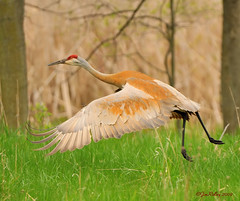 Big Birdie taking Off! (JRIDLEY1) Tags: red fab brown tree bird grass bigbird spring wings crane michigan deer kensington sandhillcrane blueribbonwinner supershot zenfolio abigfave platinumphoto brightonmichigan nikond3 vosplusbellesphotos tnc09 jridley1 jimridley photocontesttnc09 dailynaturetnc09 httpjimridleyzenfoliocom photocontesttnc10 lifetnc10 jimridleyphotography httpwwwjimridleyphotographycom photocontesttnc11 photocontesttnc12