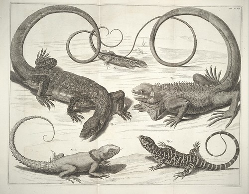 engraved plates of lizards - 1734