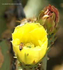 Cactus Flower Prickley Pear (Birdman of El Paso) Tags: cactus flower texas tx sony joe el lila paso pear tamron birdman prickley 200500mm a350 grossinger