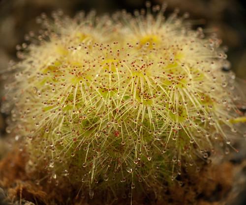 Drosera Echinoblastus: Mini-Shrub