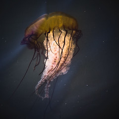 Basin Jelly (Steven Schnoor) Tags: ocean usa art nature water marina square outdoors us washington jellyfish pacific northwest windy pacificocean pacificnorthwest jelly ripples westport polarizer pnw nevermind saltwater boatbasin graysharbor schnoor simplelogic experiencewa stevenschnoor paintingandphotography 20090701 surfaceripples polarizerthroughwindripples nowayamispottingthis