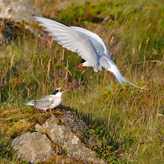 Artic Tern feeding a youngster (thordurb) Tags: bird iceland feeding youngster artic tern slbbrooding slbfeedingyoung