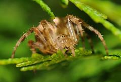 Araneus diadematus (ComputerHotline) Tags: france macro animal spider franchecomté fra araignée araneusdiadematus araneae épeirediadème offemont