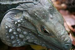Blue Iguana I