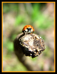 Hello there,,,, (LadyDragonflyCC - >;<) Tags: orange macro bug insect spring fuji bokeh spots finepix april ladybug 2010 s100fs cimalacustomphotography