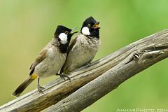 Love Symphony (Ammar Alothman) Tags: bird nature birds animal animals canon gulf wildlife kuwait ammar kuwaitcity kw 2010 q8   alothman ammaralothman 3mmar  kuwaitpictures kuwaitwildlife canonef500mmf4lisusm kuwaitiphotographer kuwaitphoto kuwaitphotos ammarphotos ammarq8 ammarphoto eos1dmarkiii 1dmarkiii eos1dmark3 ammarphotography kuwaitpic kuwaitpictrue whereiskuwait canon1dmarkiii canonmarkiii  canon1dmark3 kvwc canonmark3 kuwaitvoluntaryworkcenter  kuwaitvwc