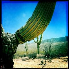 Speedway Saguaros by Jason Willis