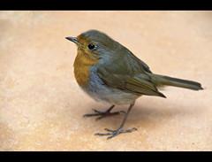 Regular Customer (_K5_1983) ([Rossco]:[www.rgstrachan.com]) Tags: old camp building bird coffee robin animal cake shop garden scotland cafe tea fife wildlife cottage biscuit pottery culross