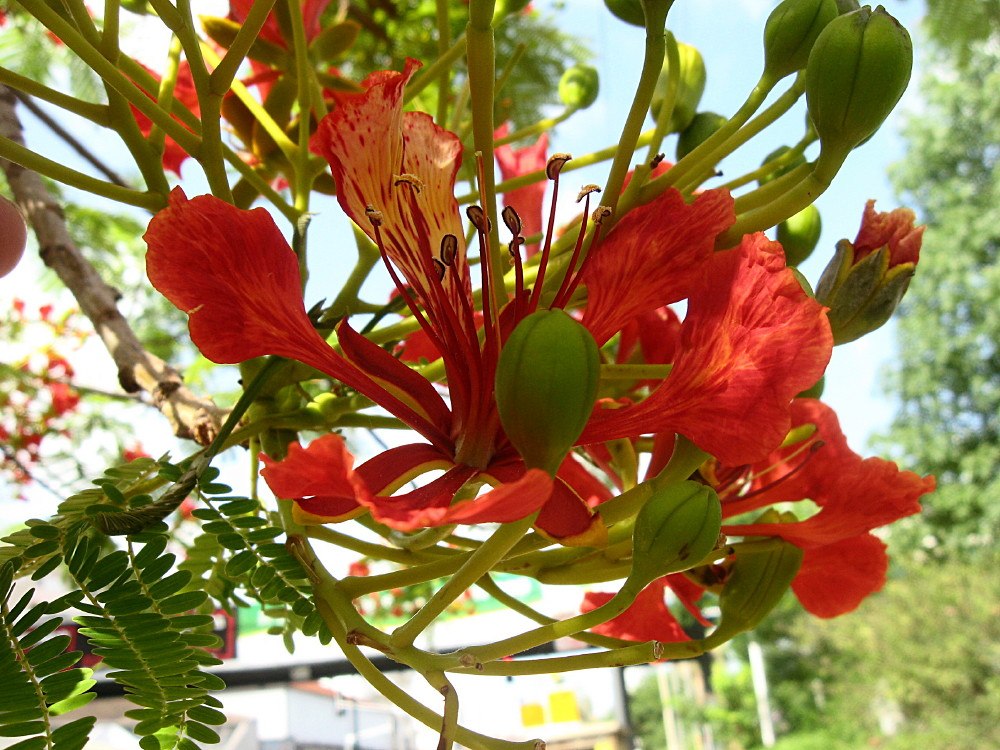 11-06-2011-flametree-flower