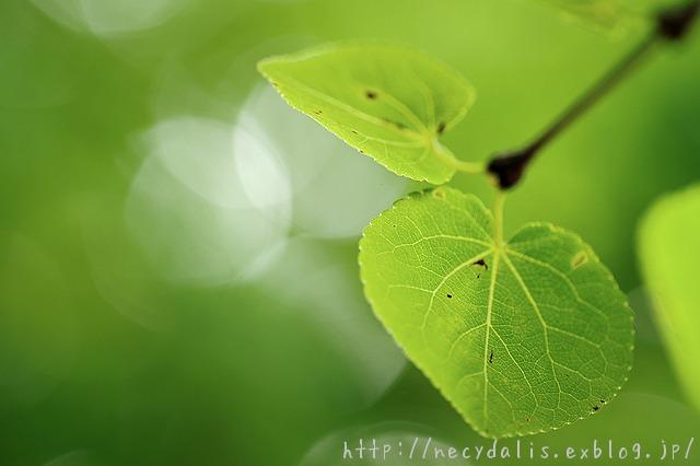 カツラ [Cercidiphyllum japonicum]