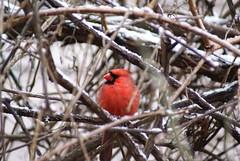 DSC01607.JPG (rhombidec) Tags: snow male cardinal tripod baltimore untouched uncropped sonydslra100 sal75300