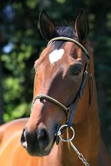 (Ana Eversbusch) Tags: horse animal ecuestre pferd equestrian stallion showjumping alazn anaeversbusch