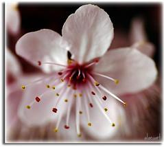 Estams de flor (alacuart.blogspot.com) Tags: flower macro nikon flor stamens  tamron estambres d80  estams spaf90mmf28