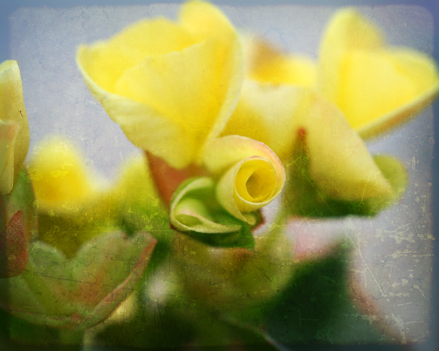 Yellow Begonia in texture