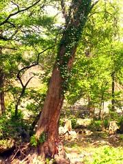 Who says.... (spysgrandson--thanks for 2,000,000 views!) Tags: tree texas texashillcountry hugetree