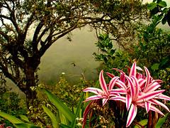 Southern Cebu's Wildflowers (Storm Crypt) Tags: flowers trees cliff plants cloud mountain nature misty fog closeup forest altitude philippines hill jungle mountaineering cebu sugbo shrubs santander highaltitude naturephotography floweringplants cpg wowphilippines oslob mywinners centralvisayas malabuyoc region7 samboan ginatilan southerncebu garbongbisaya tressinthemist