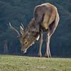 Lesser Itchy-Necked Deer (BoboftheGlen) Tags: scotland highlands deer remote predator rare lesser itchy necked mankiller